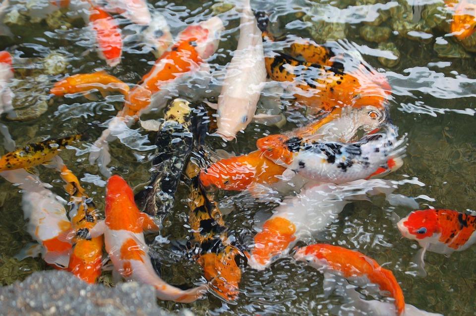 koi-fish-1081787_960_720
